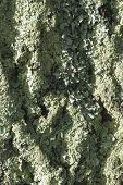 Lichen Coating Tree Trunk, Green And Grey.