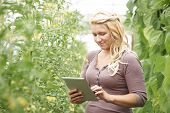 Farm Worker In Greenhouse Checking Tomato Plants Using Digital Tablet