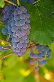Grape berries on a vine