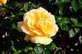 picture of english rose  - Peach coloured English rose in full bloom England Western Europe - JPG