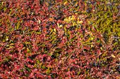foto of nana  - Betula nana dwarf birch in Greenland in autumn with red leaves - JPG