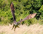 Low Flying Eagle Owl