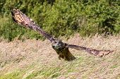 Eagle Owl Swooping Low Over A Meadow