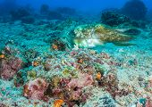 foto of cuttlefish  - Hooded Cuttlefish swimming over a broken coral sea bed - JPG