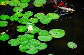 image of koi  - Water lilies on a pond with koi swimming around - JPG