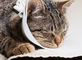 foto of castrated  - Sleeping cat with an Elizabethan collar inside home