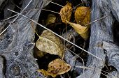 Fallen Leaves Caught In The Gnarled Roots