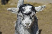 picture of baby goat  - Baby Goat portrait at farm in summer - JPG