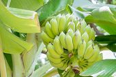stock photo of banana tree  - Beautiful  green raw banana from banana tree - JPG
