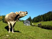 roaring cow on the meadow