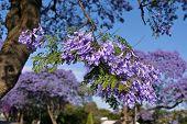 Jacaranda blossom in spring