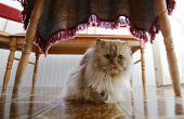 Persian Cat Under The Table