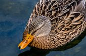 Female Duck Relaxing