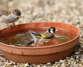 image of goldfinches  - Close up of a young Goldfinch having a bath watched by a young Tree Sparrow - JPG