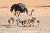 Female ostrich (Struthio camelus) with chicks,  Kalahari desert, South Africa