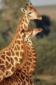 Interaction between two giraffes (Giraffa camelopardalis), South Africa