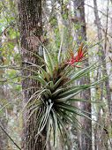 picture of monocots  - Flowering Air Plant at Six Mile Cypress Slough Preserve Florida - JPG