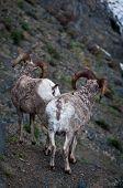 Two Bighorn Sheep