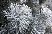 picture of conifers  - Winter landscape - JPG