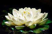 Stunning waterlily