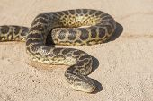 image of python  - Closeup of desert rock python snake crawling on sandy arid ground - JPG