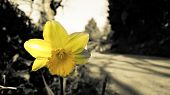 Flower Daffodil Greyscale With Yellow Petals