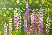 Bright sun's rays shining on lupins growing wild in rural Prince Edward Island, Canada.