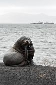 Lonely Steller Sea Lion (eumetopias Jubatus) On The Beach