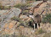 Mule Deer On Hillside