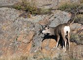 image of mule  - A large mule deer buck standingon a rocky hillside in Rocky Mountain National Park near Estes Park Colorado - JPG