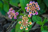 foto of lantana  - Lantana or Wild sage or Cloth of gold or Lantana camara flower in garden