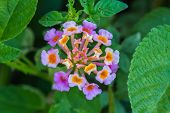 image of lantana  - Lantana or Wild sage or Cloth of gold or Lantana camara flower in garden