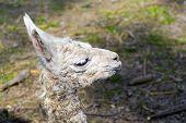 foto of lamas  - Newborn white Llama  - JPG