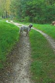 stock photo of english setter  - dog animal bark brown canine english pet setter snout white nose bushes foliage forest green path pine road route shade springtime stem summer thicket timber track way wild wilderness wood lights lamps trees nature dirt landscape   - JPG