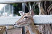 stock photo of jousting  - the deer Looking for Food With hunger - JPG