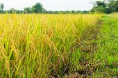 image of rice  - rice fields or rice paddies stalks of rice - JPG