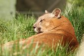 stock photo of cougar  - beautiful cougar portrait at the zoo  - JPG