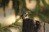 pic of tit  - european crested tit standing on a wooden stump  - JPG
