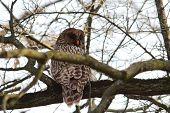image of caught  - eurasian ural owl  - JPG