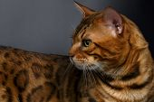 foto of bengal cat  - Closeup Bengal Cat looking angry on Black Background - JPG