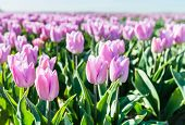 pic of early morning  - Closeup of pink blooming tulip bulbs in a large field in early morning sunlight - JPG