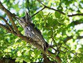 stock photo of screech-owl  - Eastern Screech Owl  - JPG