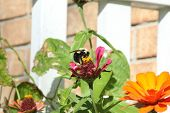 picture of bumble bee  - Bumble Bee was spotted on a flower - JPG
