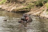 stock photo of copulation  - Hippos mating in river - JPG
