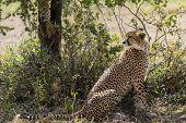 image of cheetah  - Cheetah sitting under a tree - JPG