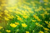 stock photo of buttercup  - Meadow is full with little yellow flowers  - JPG