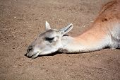 image of lamas  - Guanacoes  - JPG