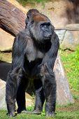 stock photo of gorilla  - Gorilla constitute the eponymous genus Gorilla - JPG