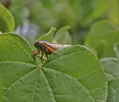 stock photo of peeking  - Close up of a colorful cicada peeking over a large green leaf in summer - JPG