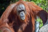 pic of rainforest animal  - The orangutans - JPG